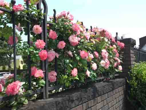 roses blooming on the fence of Kaii