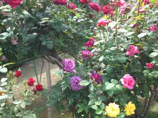 colorful roses in Shishibone Hana Koen