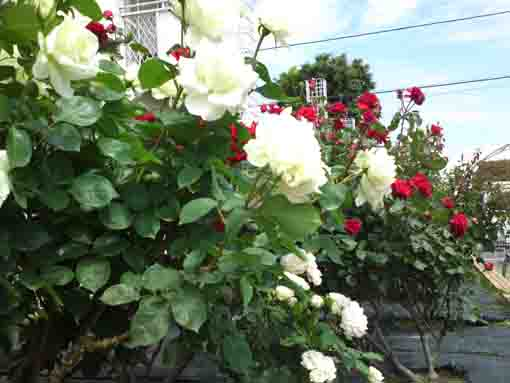 white roses in Shishibone Hana Koewn