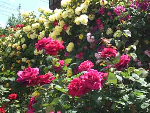 pink and yellow roses in Shishibone Koen