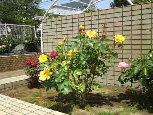 yellow roses in Shishibone Hana Koen