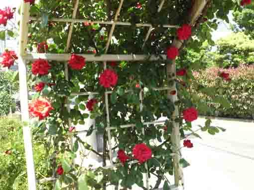 an arch with red roses in the park