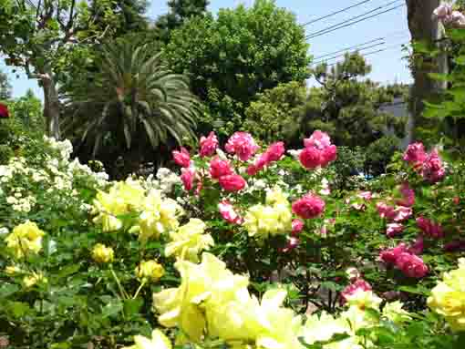 many roses blooming in Ukita Higashi Koen