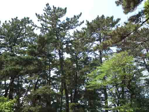 pine trees Hirata Green Zone