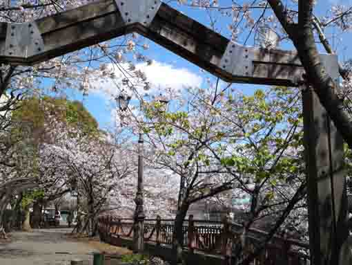 cherry blossoms on the path along Ebigawa