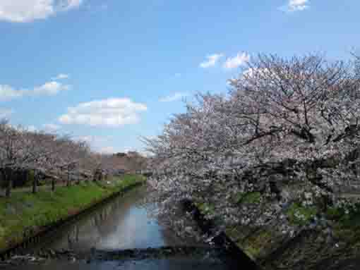 cherry blossoms near the Funabashi Ichiba