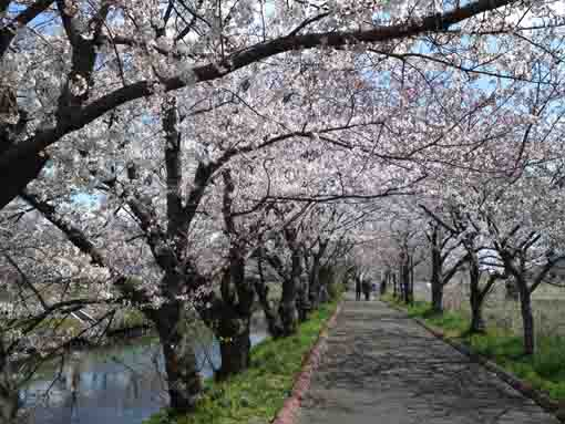 cherry blossoms along Ebigawa River