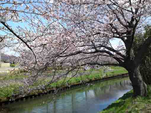 lined cherry trees along Ebigawa in Funabashi