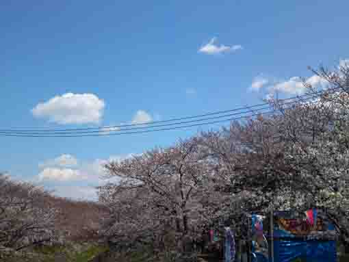 Ebigawa and cherry blossoms under the sky