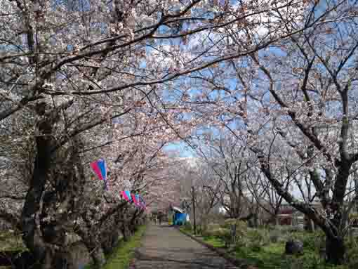 sakura blooming on the east bank of Ebigawa
