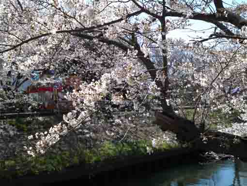 some stalls and sakura over Ebigawa