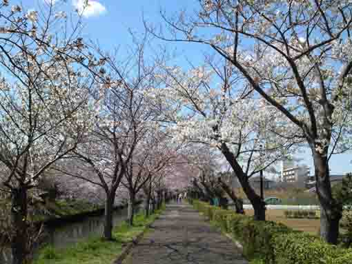 sakura blossoms blooming along Ebigawa