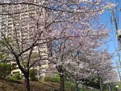 cherry blossoms under the bank