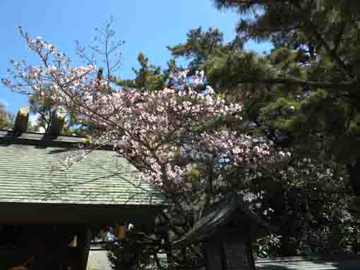 cherry blossoms in Oohi Jinja in Funabashi