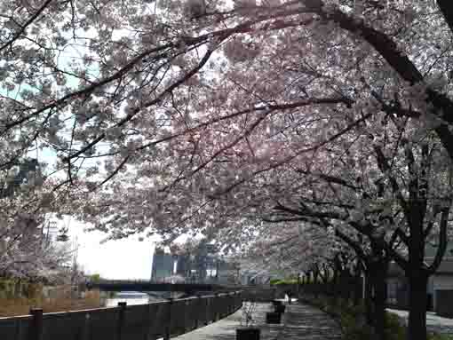 sakura blossoms from Shinkawabashi