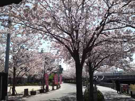 cherry blossoms in front of Sakurakan
