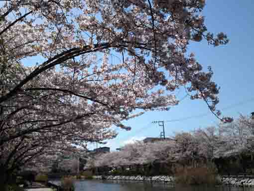 cherry blossoms from Sankakubashi