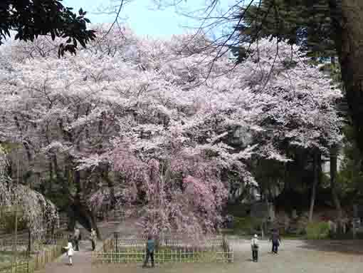 the whole veiw of cherry trees near Fushihime