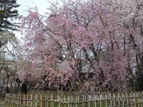 full bloomed pink cherry blossoms