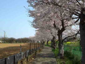 a field and cherry trees along a path