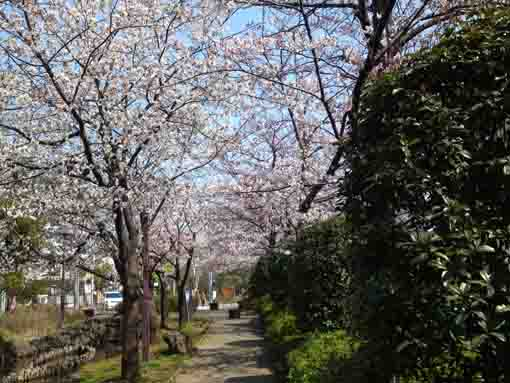 sakura along the path