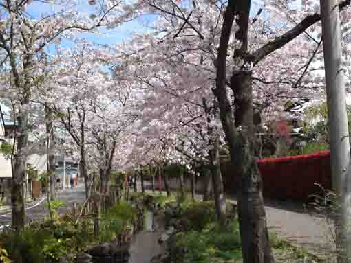 cherry blossoms along Sakaigawa river