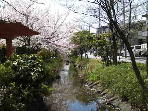 cherry trees line on Sakaigawa river
