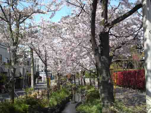 lined cherry trees along the roads