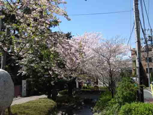 the railroad and the cherry blossoms