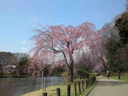 cherry blossoms in Junsaiike Pond Park