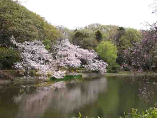 sakura blooming on both sides of the pond