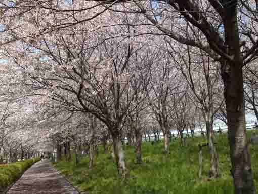 the forest of many cherry blossoms