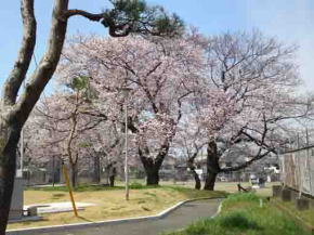 cherry trees in Kuriyama Filtration Plant