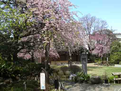 weeping cherry trees in Ichinoe Makkotei