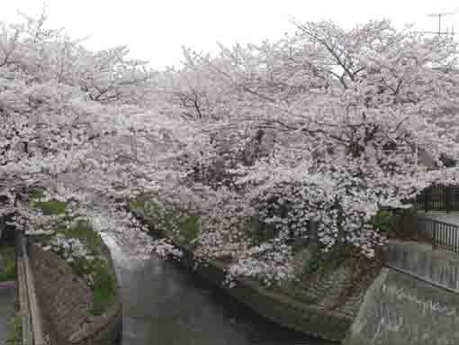 a overview of sakura lining along the river