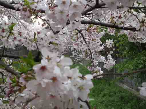 sakura blooming beside the bridge