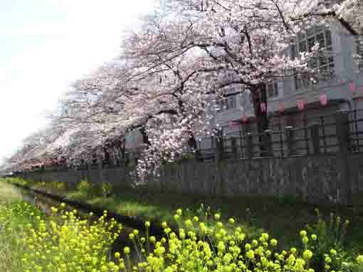 sakura blooming over rape blossoms