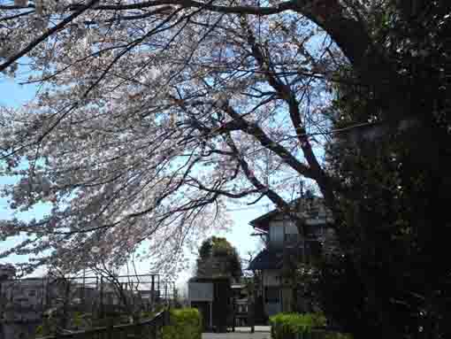 the entrance covered with sakura