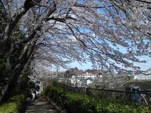 the approach road covered with sakura 1