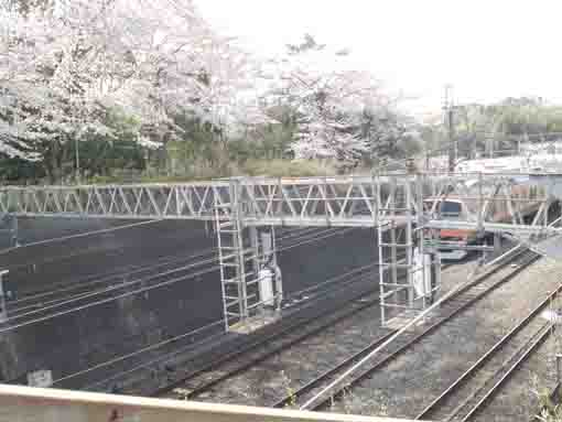 the train and cherry blossoms