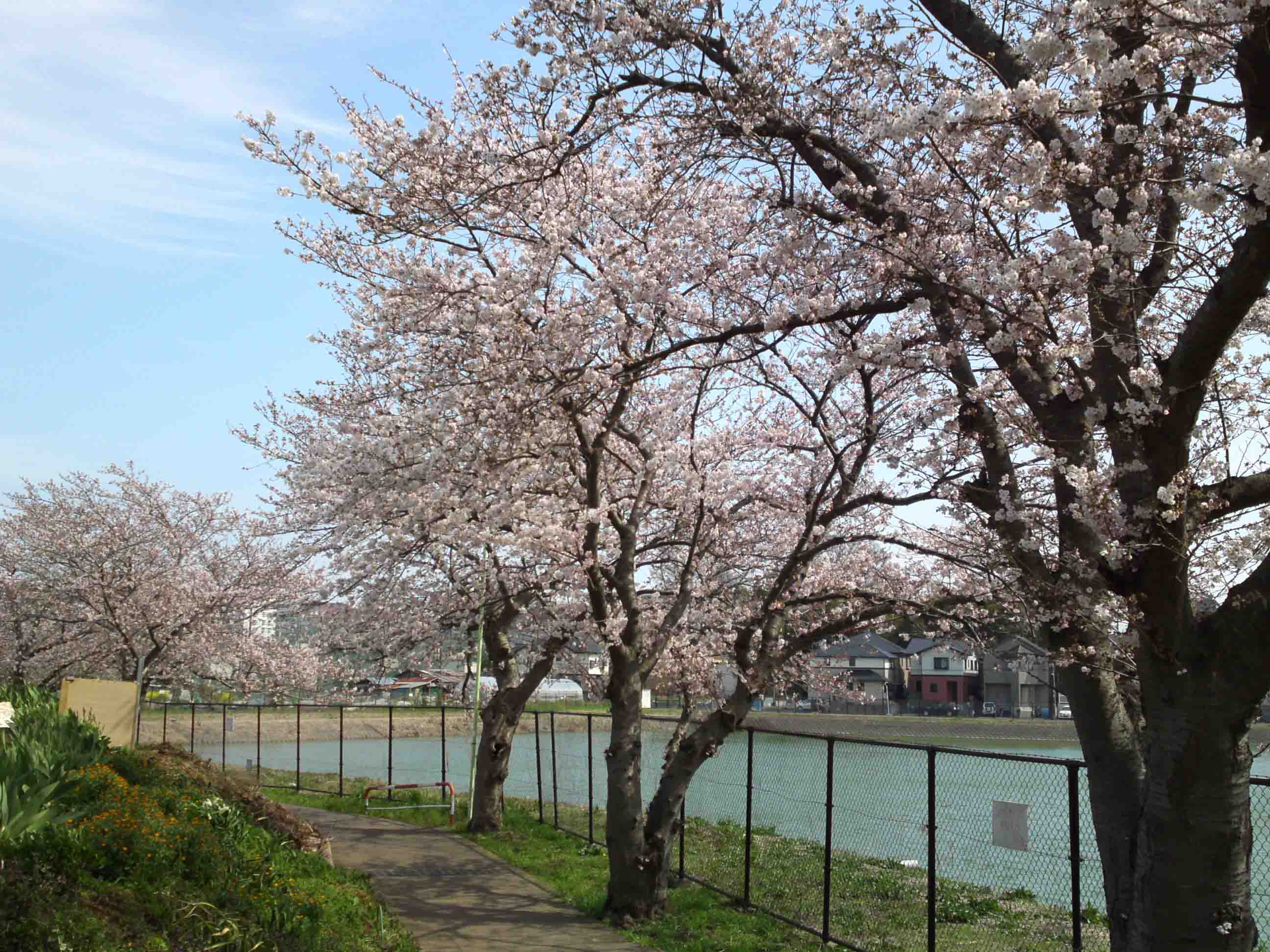 cherry trees lining along the pond