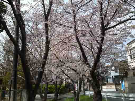 cherry trees beside the high school