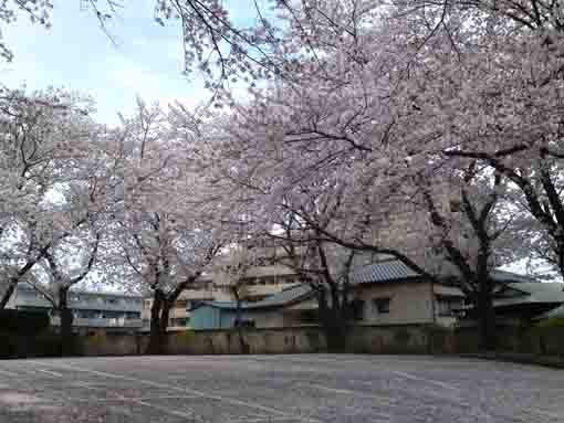 cherry blossoms fully blooming in park