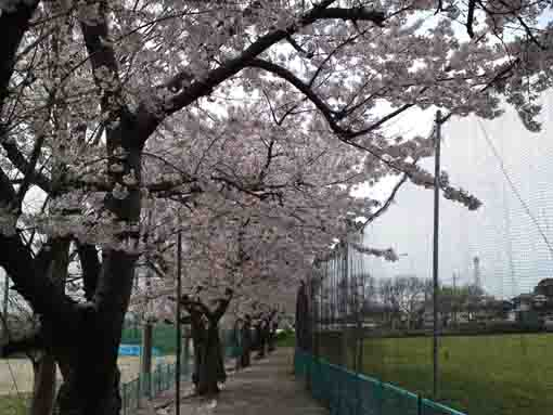 cherry trees lining along the ground