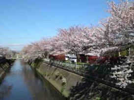 lined cherry trees along Ogashiwagawa