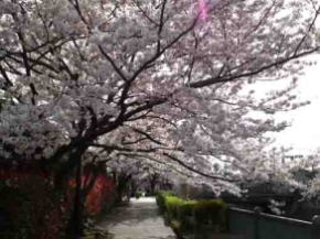 cherry blossoms blooming over the path