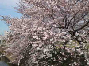 a close view of sakura at Oogashiwagawa