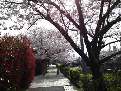 cherry blossoms along Oogashiwagawa