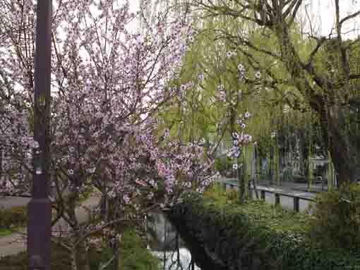 flowers blooming along Sakaigawa river