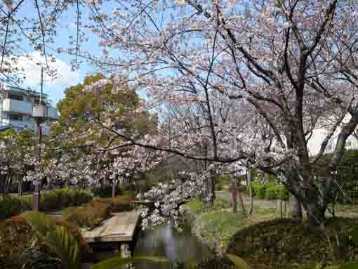 cherry blossoms over Sakaigawa